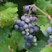 Riverbank Grape - Photo (c) jefferykarafa, some rights reserved (CC BY-NC)