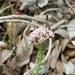 Stenocline ericoides - Photo (c) Franck Rakotonasolo, alguns direitos reservados (CC BY-NC)
