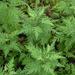 Artemisia gmelinii - Photo (c) Oleg Kosterin, algunos derechos reservados (CC BY)