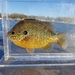 Pumpkinseed × Bluegill - Photo (c) Lucas Beaver, some rights reserved (CC BY-NC)