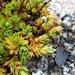 Saxifraga bronchialis funstonii - Photo (c) Paul Norwood,  זכויות יוצרים חלקיות (CC BY-NC)