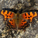 Green Comma - Photo (c) Nick Block, some rights reserved (CC BY)