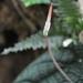 Piper parmatum - Photo (c) ramon_d, algunos derechos reservados (CC BY-NC)