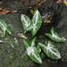 Syngonium llanoense - Photo (c) ramon_d, algunos derechos reservados (CC BY-NC)