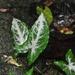 Syngonium - Photo (c) ramon_d, algunos derechos reservados (CC BY-NC)