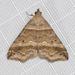 Phalaenophana pyramusalis - Photo (c) Ken-ichi Ueda,  זכויות יוצרים חלקיות (CC BY)