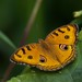 Peacock Pansy - Photo (c) Anil Kumar Verma, some rights reserved (CC BY-NC)