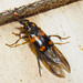 Say's Burying Beetle - Photo (c) David Dodd, some rights reserved (CC BY)
