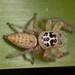 Opisthoncus polyphemus - Photo (c) Graham Wise, μερικά δικαιώματα διατηρούνται (CC BY-SA)