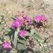 Malva de Los Cerros - Photo (c) tereso30, algunos derechos reservados (CC BY)