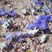 Linanthus parryae - Photo (c) Naomi Fraga, algunos derechos reservados (CC BY-NC-ND)