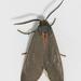 Euchaetes polingi - Photo (c) Lee Hoy, algunos derechos reservados (CC BY-NC-ND)