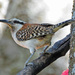 Rufous-naped Wren - Photo (c) Jerry Oldenettel, some rights reserved (CC BY-NC-SA)