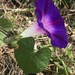 Common Morning-Glory - Photo (c) fangchen, some rights reserved (CC BY-NC)