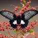 Papilio rumanzovia - Photo (c) djop-tabaranza, algunos derechos reservados (CC BY-NC)