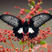 Scarlet Mormon Swallowtail - Photo (c) djop-tabaranza, some rights reserved (CC BY-NC)