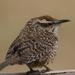 Campylorhynchus gularis - Photo (c) Emily Hoyer, μερικά δικαιώματα διατηρούνται (CC BY-NC-ND)