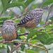 Band-backed Wren - Photo (c) Jerry Oldenettel, some rights reserved (CC BY-NC-SA)