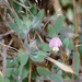 Spanish Clover - Photo (c) Todd Plummer, some rights reserved (CC BY-NC-SA)