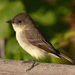 Tyrant Flycatchers - Photo (c) John Benson, some rights reserved (CC BY)