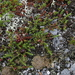 Rock Crowberry - Photo (c) tyler_hoar, some rights reserved (CC BY-NC)