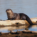 North American River Otter - Photo (c) leslie_s, some rights reserved (CC BY-NC)