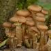 Hongos de Miel - Photo (c) AnneTanne, algunos derechos reservados (CC BY-NC)