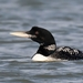 Yellow-billed Loon - Photo (c) gramandy, some rights reserved (CC BY-NC)