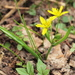 Yellow Star-of-Bethlehem - Photo (c) Hermann Falkner, some rights reserved (CC BY-NC)
