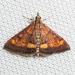 California Pyrausta Moth - Photo (c) Ken-ichi Ueda, some rights reserved (CC BY)