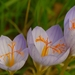 Crocus speciosus - Photo (c) AnneTanne,  זכויות יוצרים חלקיות (CC BY-NC)