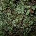 Hymenophyllum neocaledonicum - Photo (c) Leon Perrie, osa oikeuksista pidätetään (CC BY-NC)